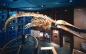 An image whale skeleton at the New Bedford Whaling Museum