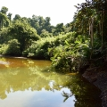 Landscape where electric fish can be found. Green tropical plants surround a muddy body of water.