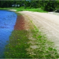 Image of beach in Waquoit Bay. Two sections have green algal growth. Middle section is brown, with no algal growth.