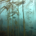 Fish swim through a forest of kelp in the Big Creek Marine Reserve, California