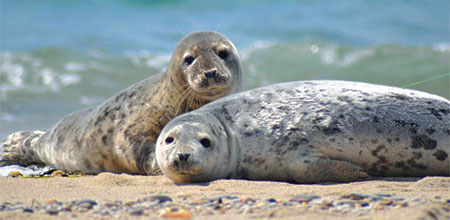 Seals on the beach of Nantucket