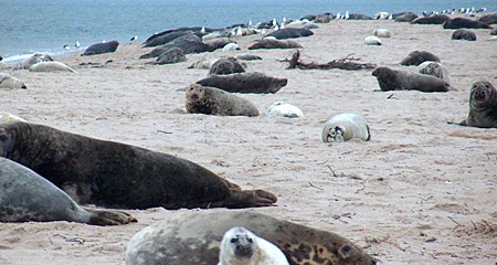 Seals on the beach at the Nantucket Field Station
