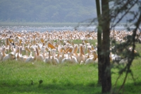 A tiny section of the flamingos at Lake Nakuru in the Great Rift Valley