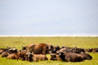 Buffaloes enjoying an afternoon nap at Lake Nakuru National Park