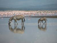 Picture of zebras mixing with the flamingos taken by the team during a safari trip at the Nakuru National Park.