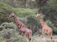 Giraffes walking free through the Rift Valley