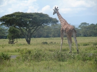Giraffe walking right next to our bus!