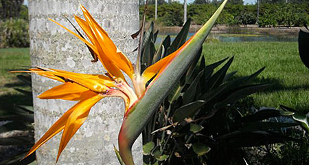 Picture of a bird of paradise flower