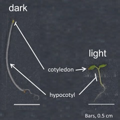 Graph shows dark and light for plant color vision and development.