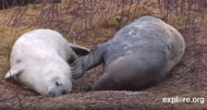 Picture of gray seals from gray seal pupping cam