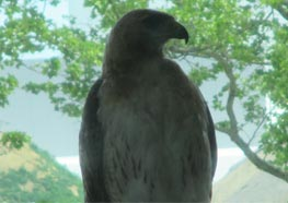 Chris Goldy of the Psychology Department took this picture of a hawk from the catwalk outside Healey Library.