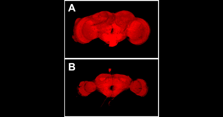 Two Drosophila (fly) brains. Brain A (top) is significantly larger and more developed than brain B (bottom).