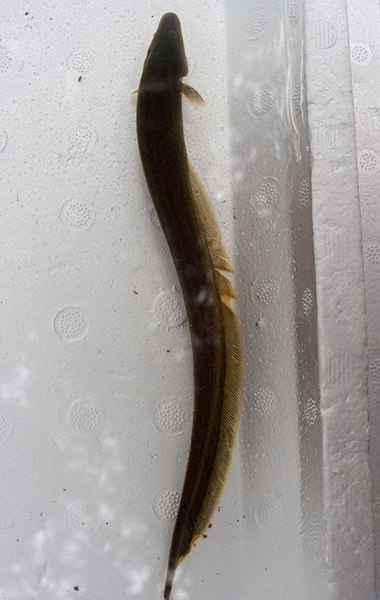 An electric fish with a long brown body and pointed head.