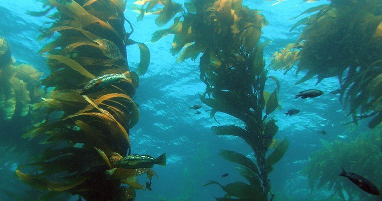 Wanted: Citizen Scientists to Identify Giant Kelp in Falklands and Beyond