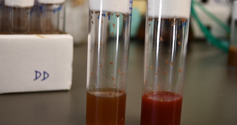 Both of these vials contain flies. The one on the right, which has a redder color, contains Vitamin A.